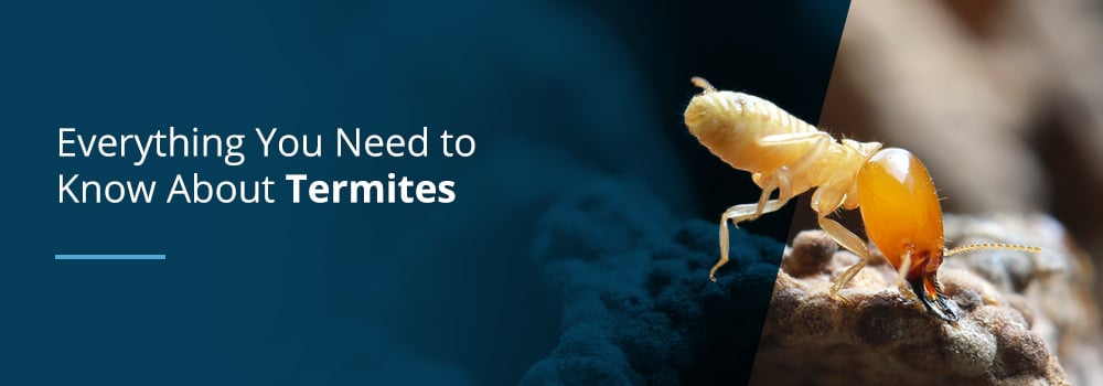 Everything About Termites