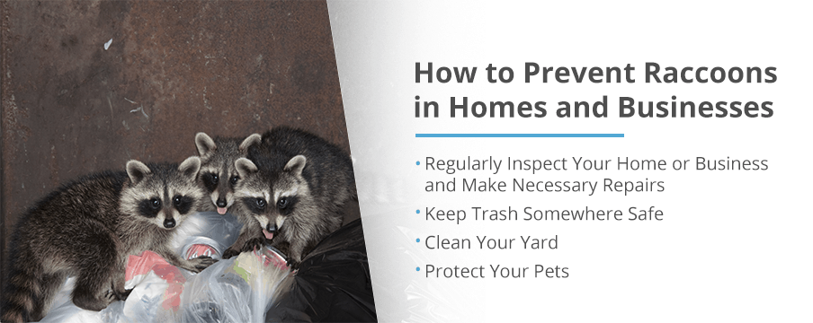 Prevent Raccoon Pests