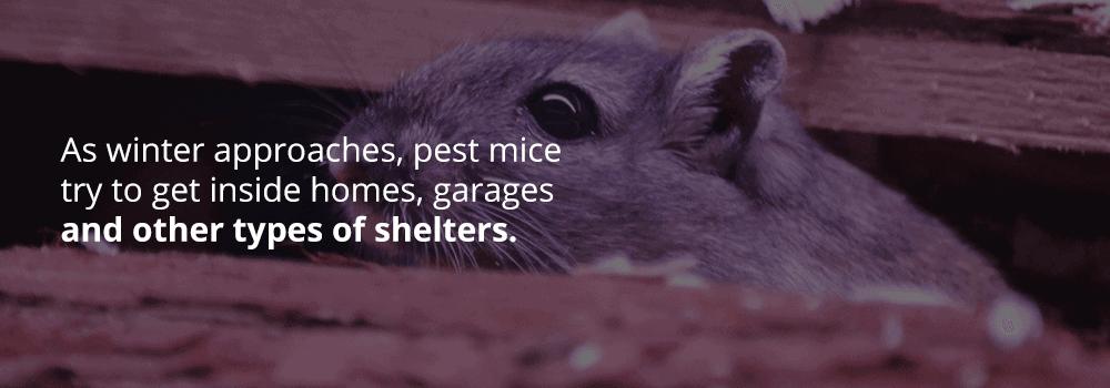 Types of Pest Mice