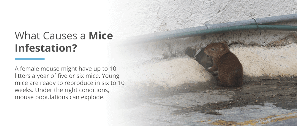 What causes a mice infestation