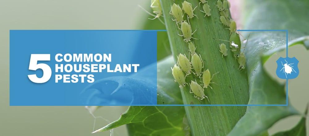 Common Houseplant Pests