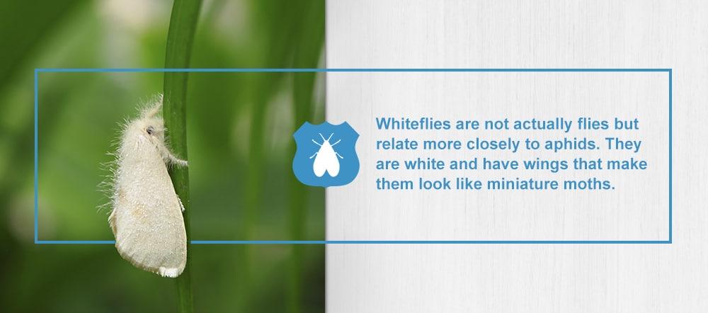 Whiteflies Houseplant Pest