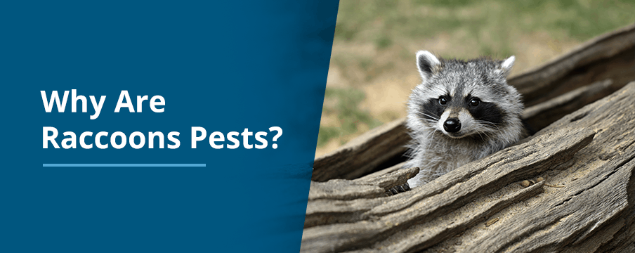 Why Racoons Pests