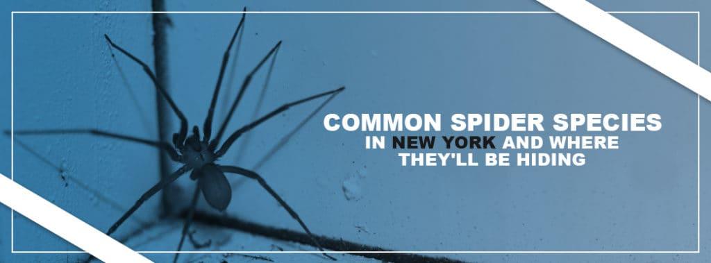 Common-Spider-Species NY