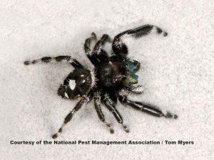 Black-White-Jumping-Spider