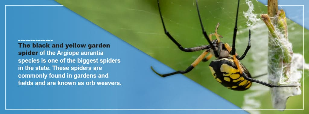 Black Yellow Garden Spider