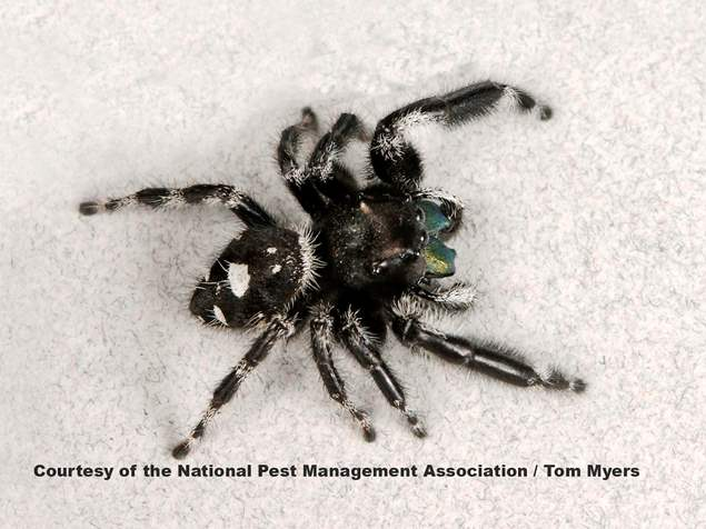 Black White Jumping Spider