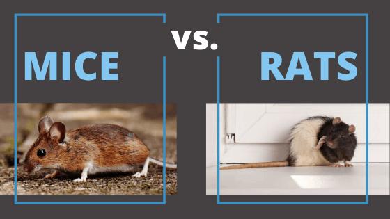 Mice vs. Rats