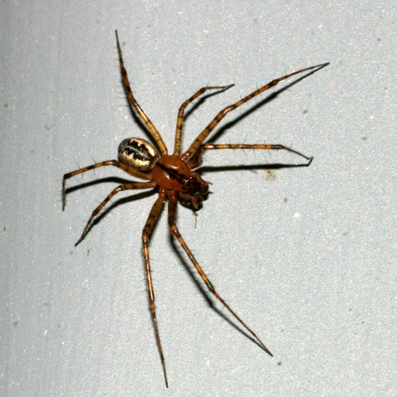 Sheet Web Weaver Spider