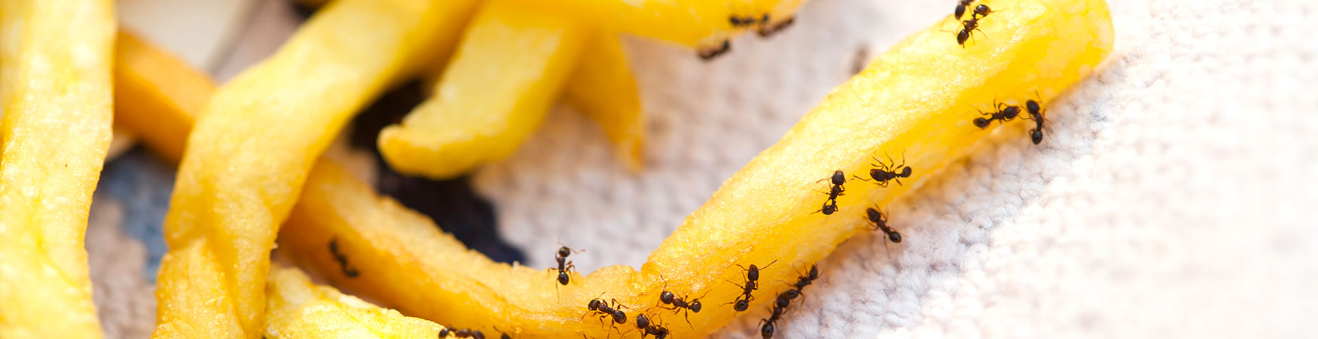 pest-ants-eating-french-fries