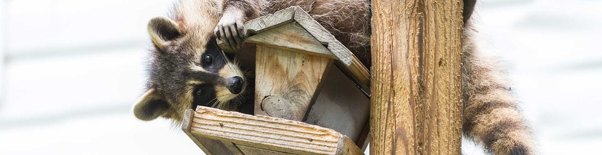 A raccoon trying to break into a birdhouse mounted on a pole.
