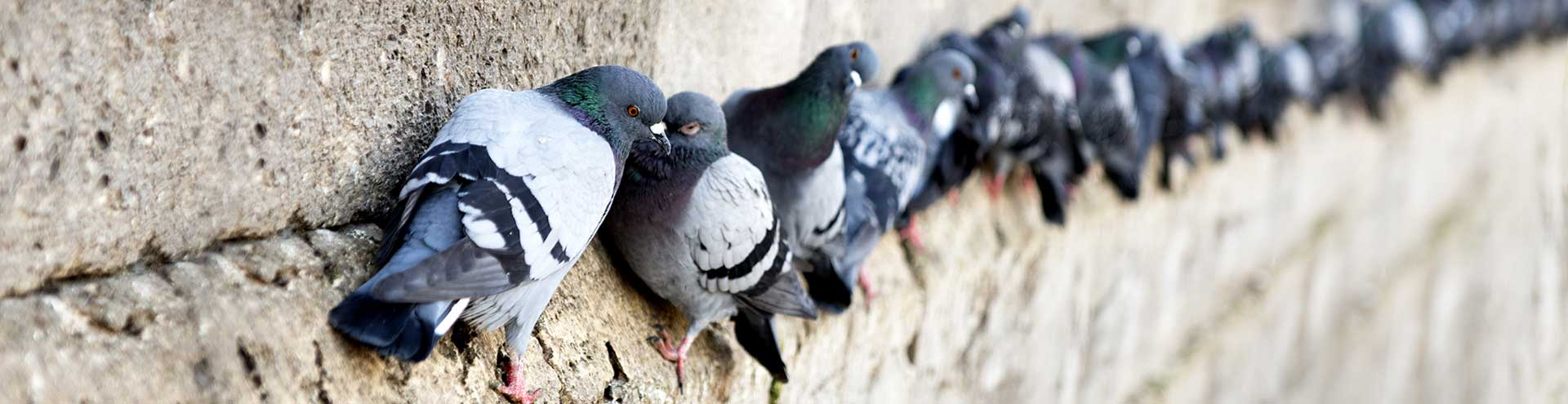 A group of pigeons collecting on the edge of a stone building.
