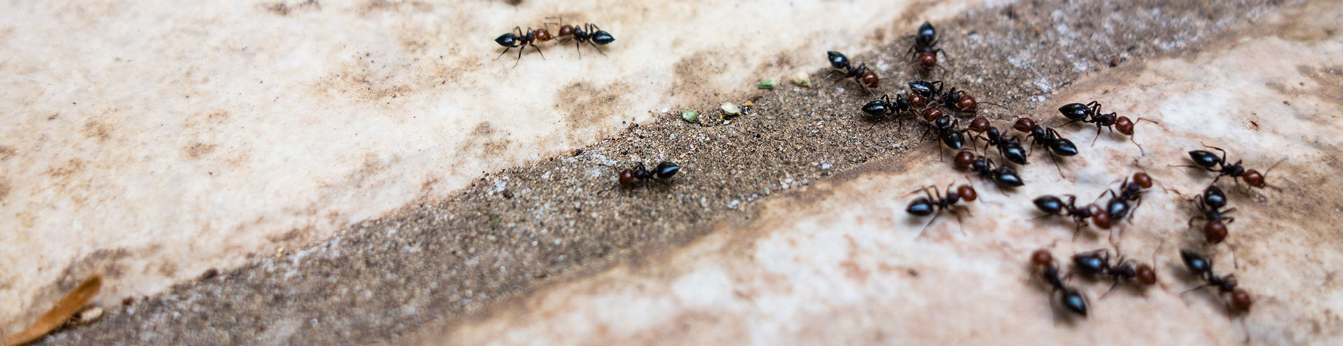 A group of common ants on a concrete sidewalk.