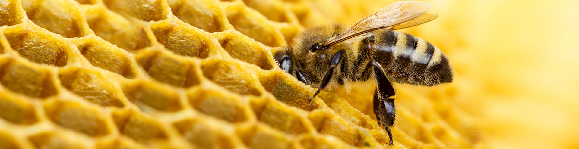A bumble bee crawling into a honey comb in its hive.